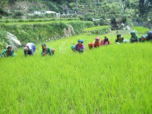 Weeding activities , Uttarakhand (1)