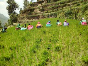 Weeding activities , Uttarakhand (2)